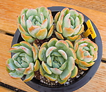 双贝瑞_Echeveria 'Twin Berry'