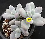 moonstone.自然群生_Pachyphytum Oviferum Moon Stone