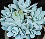 白色的클라우드(蓝云)_Echeveria blue cloud