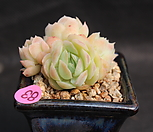 双贝瑞092405_Echeveria 'Twin Berry'