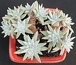 格诺玛桩13头_Dudleya White gnoma(White greenii / White sprite)