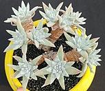 格诺玛桩14头로분지중_Dudleya White gnoma(White greenii / White sprite)