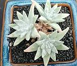 格诺玛桩3头_Dudleya White gnoma(White greenii / White sprite)