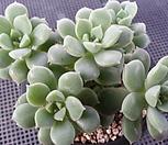 姬养老(8头紫心一体)9-400_Echeveria decairn