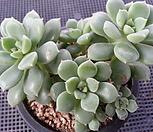 姬养老(6头紫心一体)9-401_Echeveria decairn