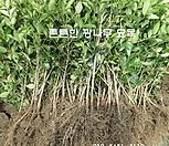 광나무묘목1미터이상급100주한세트_