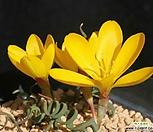 코루가타아프리카식물种子5립_