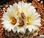 국수进口种子10립_