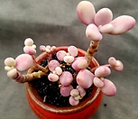 醉美人9头群生-78_Graptopetalum amethystinum