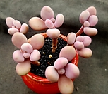 醉美人6头群生-71_Graptopetalum amethystinum
