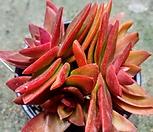 火祭-46_Crassula Americana cv.Flame