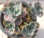 老庄原始种晨光(컷팅群生)-149_Echeveria peacockii 'Morning Light'