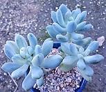 京美人錦群生_Pachyphytum oviferum cv. Kyobijin