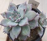 老庄粉蓝鸟桩-418_Echeveria blue bird