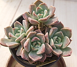 老庄红粉佳人桩-338_Echeveria Pretty in  Pink