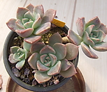 老庄红粉佳人桩-326_Echeveria Pretty in  Pink