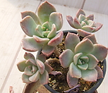 老庄红粉佳人桩-6_Echeveria Pretty in  Pink