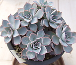 老庄晨光群生-57_Echeveria peacockii 'Morning Light'