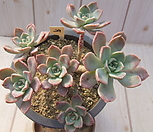 老庄红粉佳人桩-29_Echeveria Pretty in  Pink