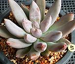 杜里万_Echeveria tolimanensis