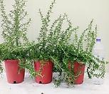 클리핑玫瑰마리(2+1特价세일)청량한향집중력향상,스트레스해소_