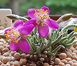 韧锦进口种子10립(퍼플)_Avonia quinaria ssp 'Alstonii'