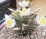 韧锦进口种子10립(白色的)_Avonia quinaria ssp 'Alstonii'