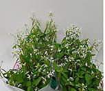다아아몬드(흰색꽃이가날프게피어있어요)2개묶음판매_