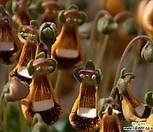 칼세올리아进口种子10립_