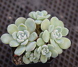 冰玉群生.9_Echeveria 'Ice green'