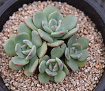 轰动群生.5_Eecheveria Sensation