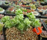 彩色蜡笔10-861_Crassula Rupestris variegata