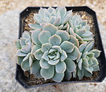 墨西哥雪球自然群生_Echeveria Mexican Snowball