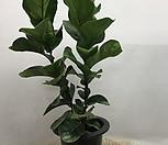 떡갈Ficus elastica_Ficus elastica