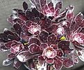 黑法师_Aeonium arboreum var. atropurpureum