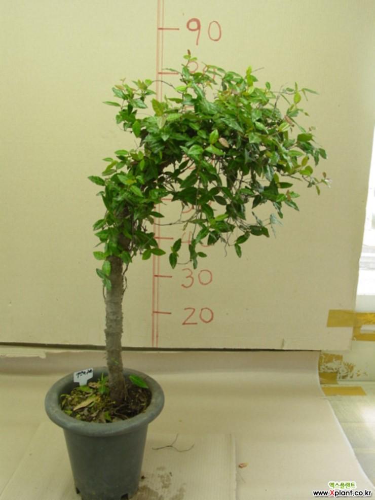 10 fresh seeds 2019 Haworthia cv /'Hanasaki-gani/' only 3 Succulent