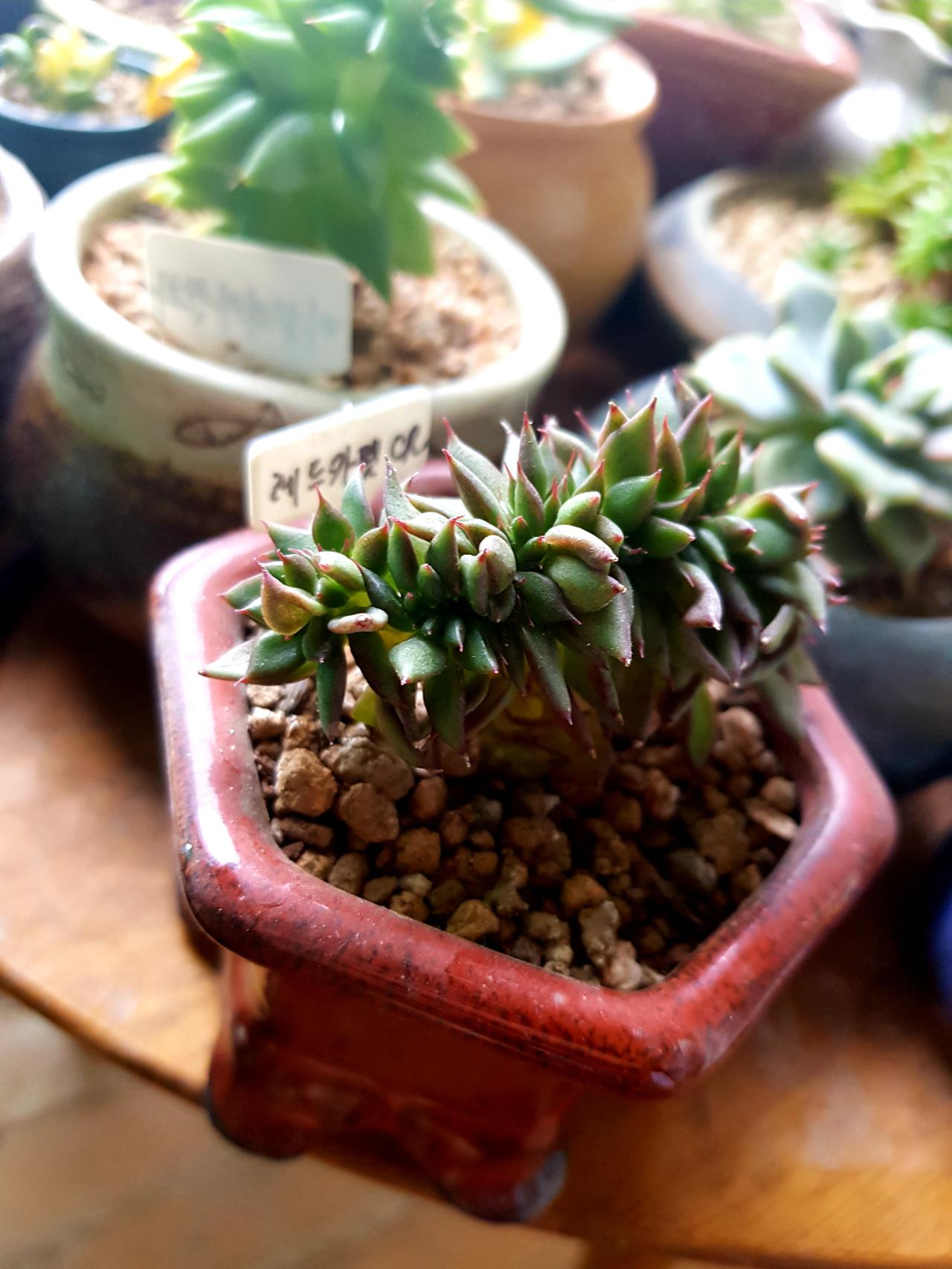레드카펫철화 - 다육식물
