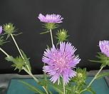 벌레잡이제비꽃(에셀리아나)1촉