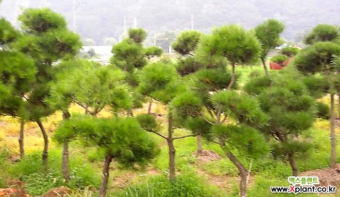 소나무 조경수 변함없는 푸른 빛