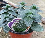 오레오스스킨 (공기정화식물) 신상희귀스킨