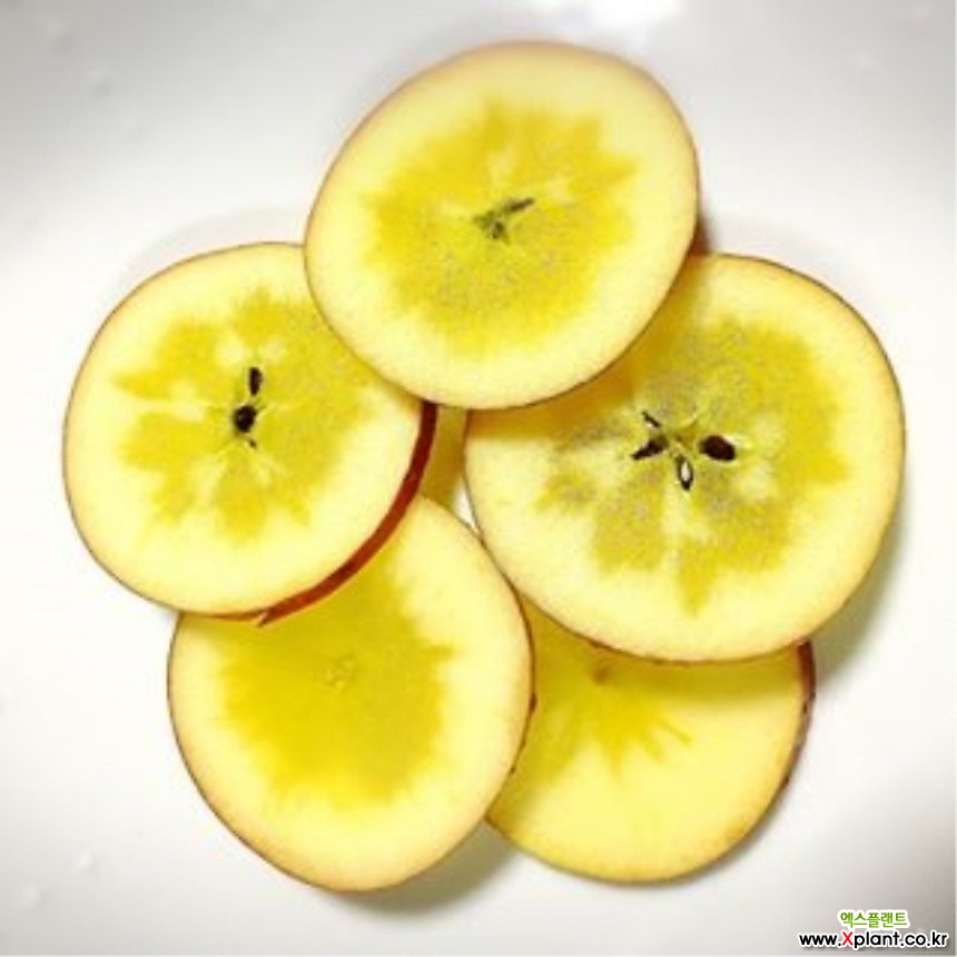 청송꿀사과 왜성 화분상품/미야미 애플/청송 꿀사과/사과 사과나무 사과 나무