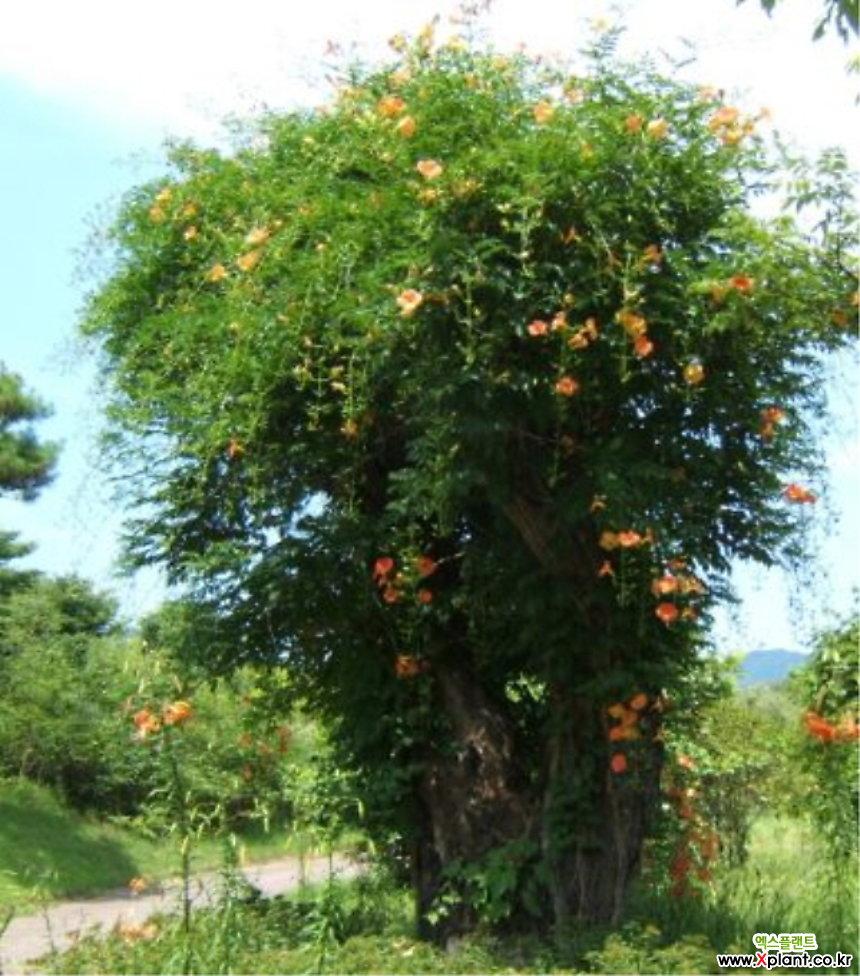 기품있는 꽃 능소화 나무 특대품♥능소화나무