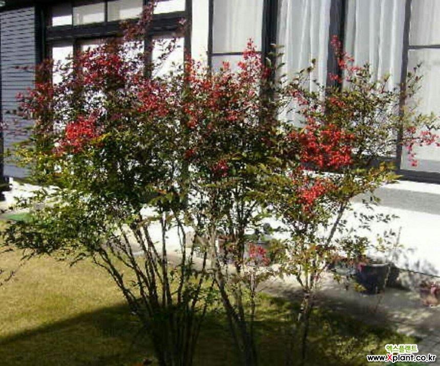 사계절 볼거리를 제공하는 남천♥키높은 분달이/화분상품♥남천나무