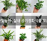 프로스트라타 거북이페페 페페로미아 페페 공기정화식물 소품 한빛농원