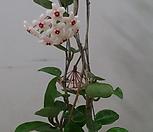 호야.마이당(진한핑크).꽃색깔예뻐요.향기좋은향.인테리어효과.공기정화식물.꽃눈 있어요.잎도예뻐요.