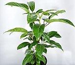 하트거북알로카시아 아마존하트 알로카시아 공기정화식물 한빛농원