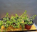 프랑스고무나무(묶은둥이에요)