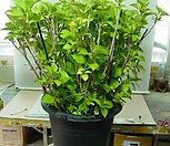 스테파니아 에레쿠타-중품-괴근식물-(하나가격)동일품배송