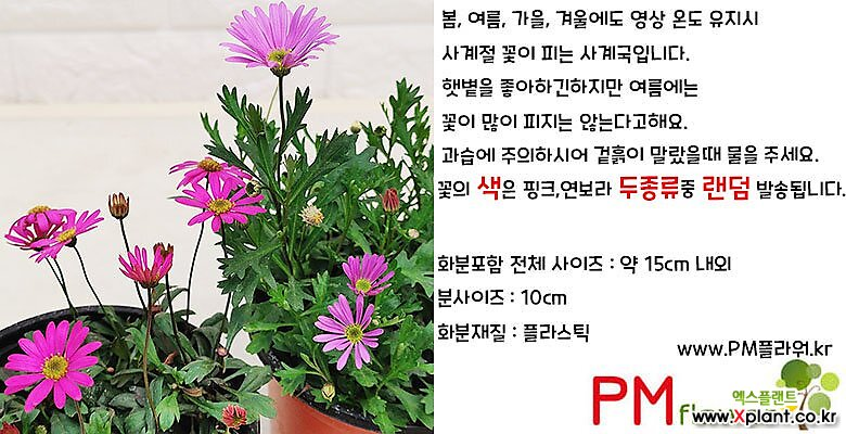 사계국 사계절 예쁘게피는 꽃 사계국화 [하늘꽃농원]