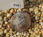 부르게리 114|Conophytum burgeri